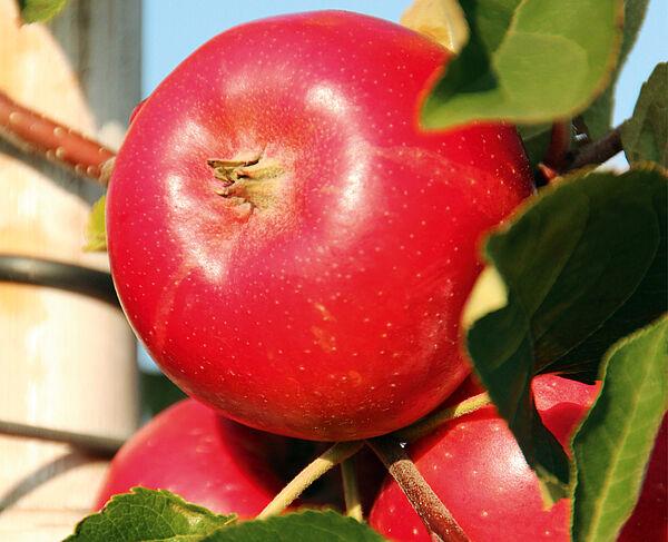 Fahner Frucht ©Archiv KulTourStadt