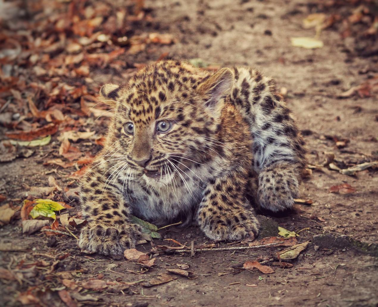 Leopardenbaby Shakira ©Archiv KulTourStadt Gotha GmbH